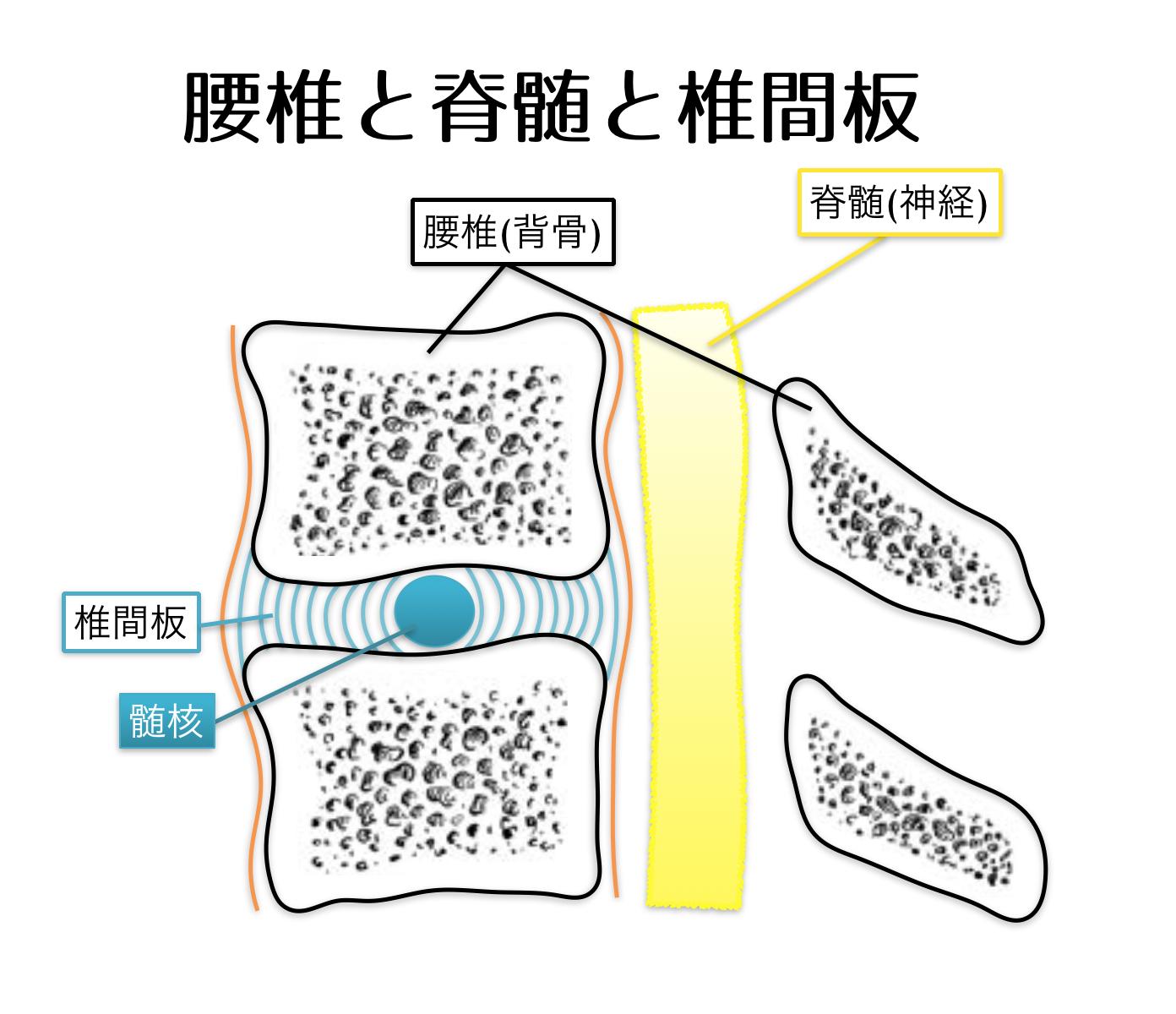 腰椎と脊髄と椎間板