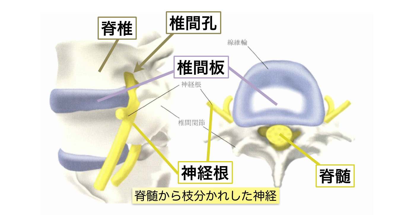 脊椎・椎間板・脊髄・神経根