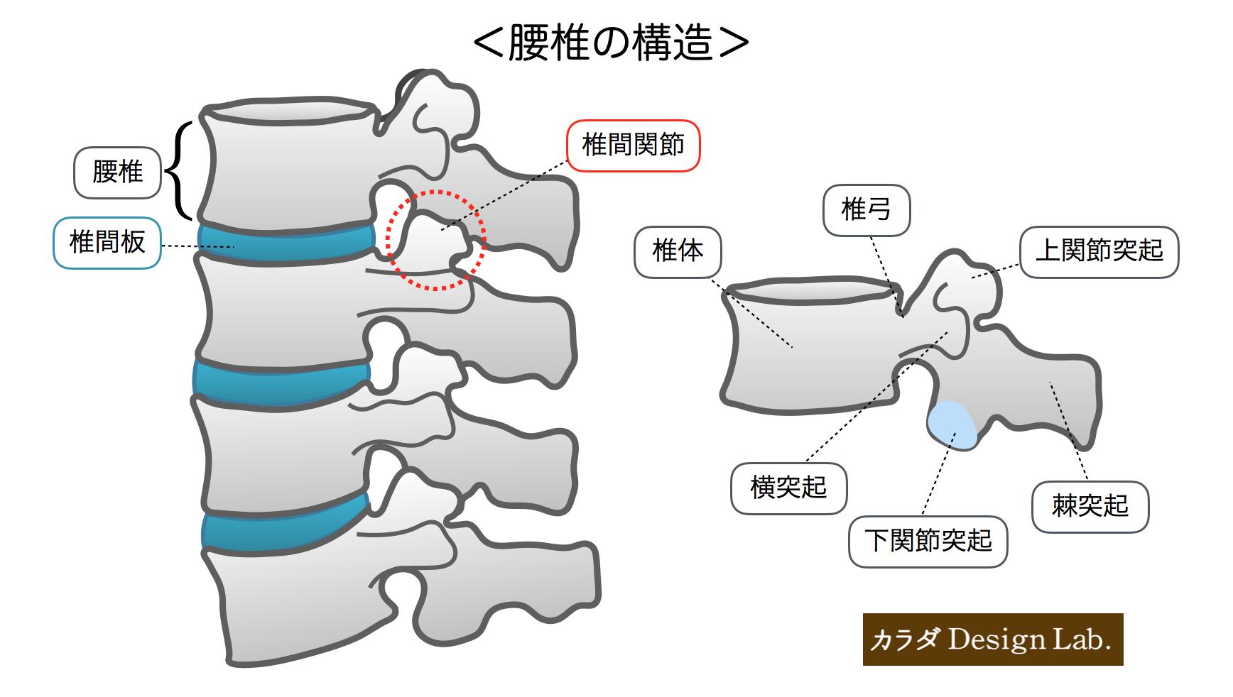 腰椎の構造