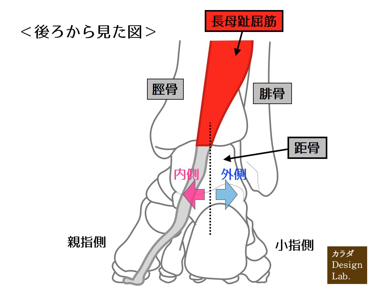 長母趾屈筋と距骨の動き