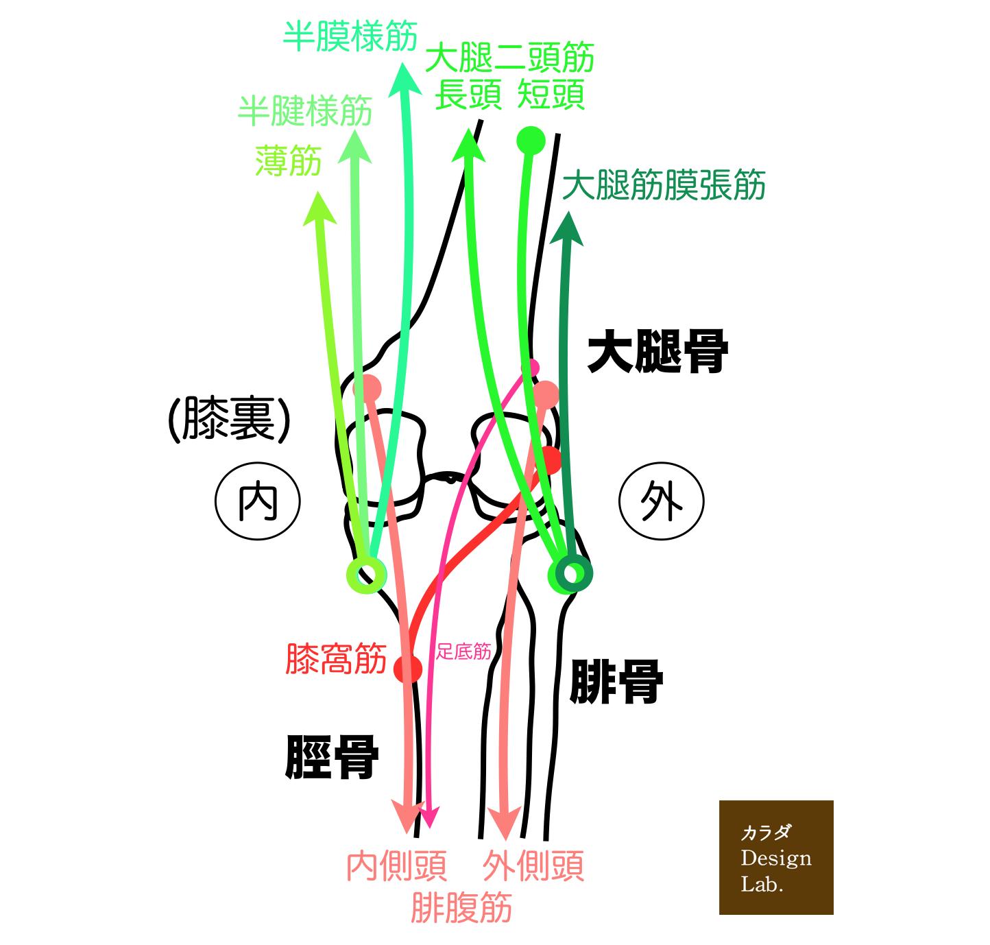 膝裏の筋肉の構造